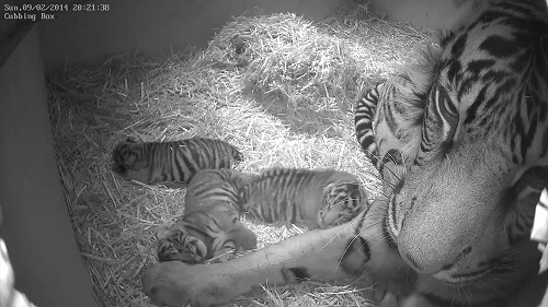Melati and Cubs at ZSL London Zoo (c)ZSL