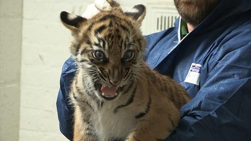 Tiger cub 10