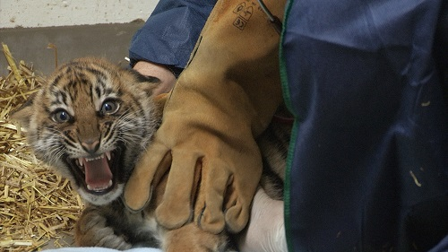Tiger cub 20