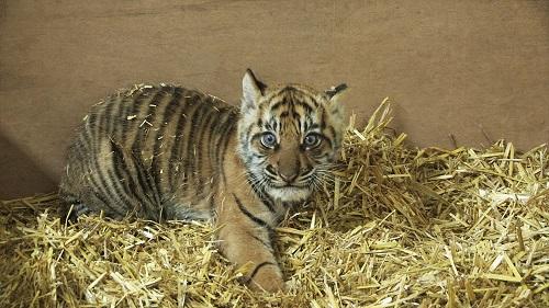 tiger cub 30
