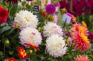 Dahlias at the RHS Hyde Hall Flower Show 2014.