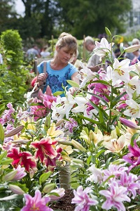 A visitor admires a display of lilies at the RHS Wisley Flower Show