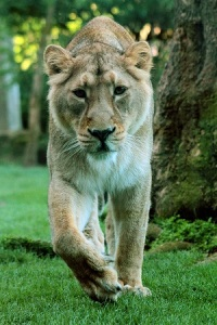 Rubi, Asiatic lioness at ZSL London Zoo (c) Tony Bates ZSL