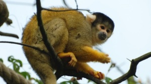 squirrel-monkey-(2)-WR