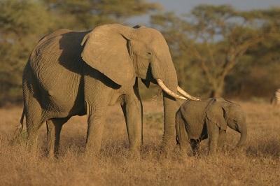 african-elephants-czsl
